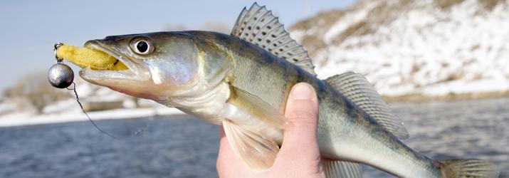 hooking walleye